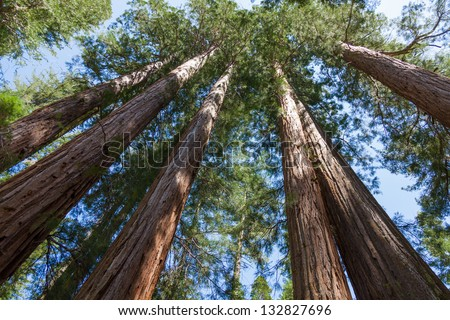 Yosemite National Park - Mariposa Grove Redwoods - California - stock photo