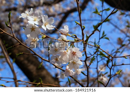 Yoshino cherry blossom in full bloom and blue sky - stock photo