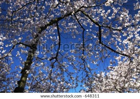 Yoshino Cherry Blossoms, University of Washington Campus - stock photo