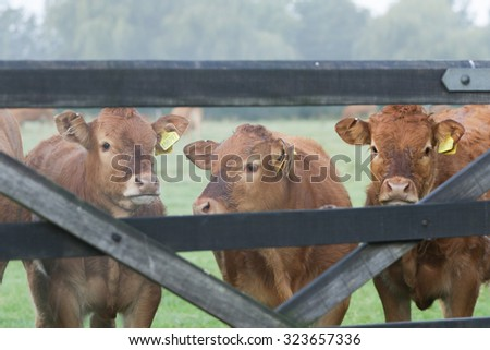 You Silly Cow! Lincoln Reds. - stock photo