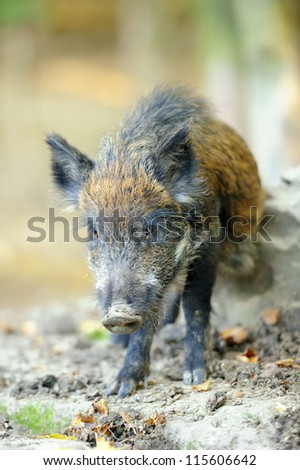 Yound wild boar in autumn forest