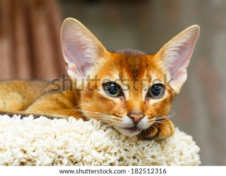 Young abyssinian cat lying at cat tree furniture - stock photo
