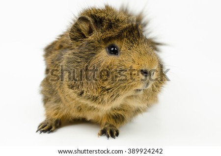 young abyssinian guinea pig (front view, looks sideways, color: agouti) - stock photo