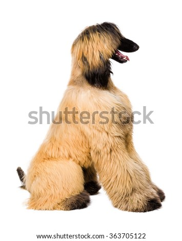Young Afghan Dog isolated on white - stock photo