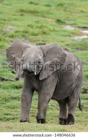 Young African Elephant, Amboseli, Kenya - stock photo