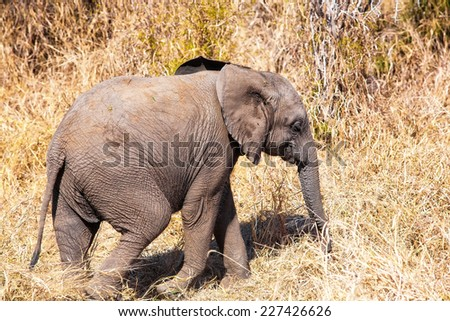 Young African elephant in the Kruger National Park, South Africa - stock photo