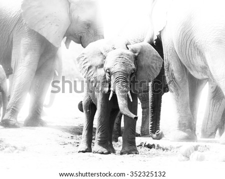 Young african elephant in the middle of family herd, Etosha National Park, Namibia. Black and white image.