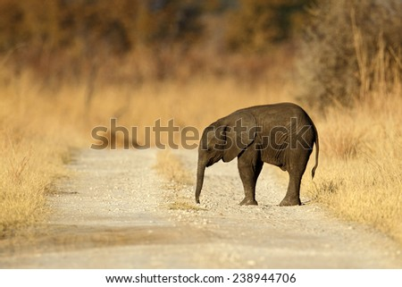 Young African Elephant lost on the gravel road  - stock photo