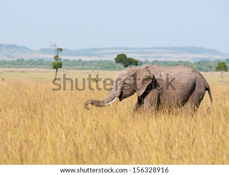 young african elephant prowling around in the national park masai mara in kenya - stock photo