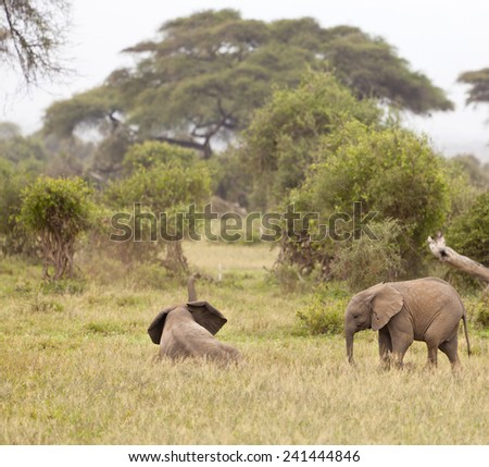 Young African Elephants playing in Amboseli National Park, Kenya. - stock photo