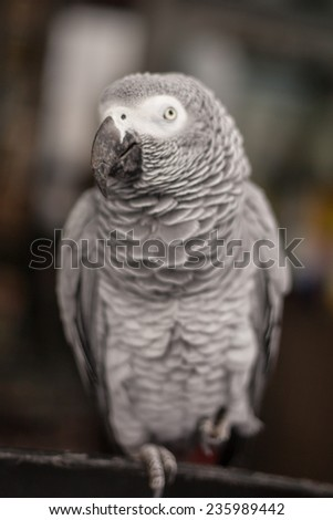 Young African Grey Parrot Sitting on a Tree Perch - stock photo