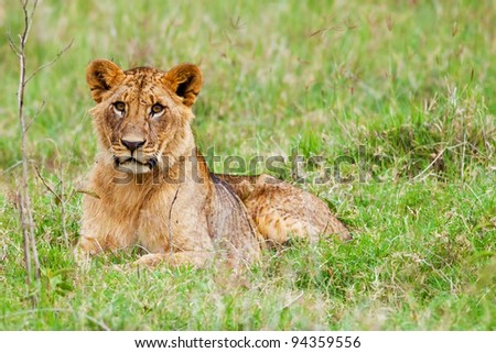 Young African Lion in the Lake Nakuru National Park, Kenya