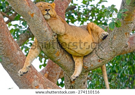 Young African Male Lion Asleep in a Tree in the Ishasha Region of Queen Elizabeth National Park in Uganda - stock photo
