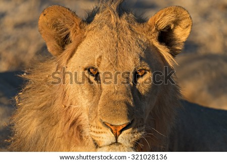 Young aggressive male lion eyeing the photographer just before sunset in Etosha National Park, Namibia