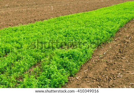 Young alfalfa in the field of black soil . - stock photo