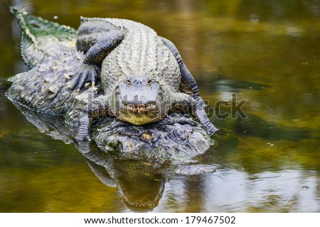 Young alligator and mother - stock photo