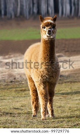 Young alpaca male. - stock photo