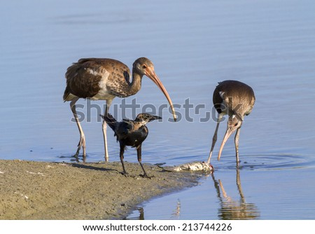 Young American white ibises (Eudocimus albus) and the common grackle (Quiscalus quiscula) scavenging on a dead fish on the beach, Galveston, Texas, USA. - stock photo