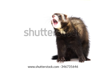 young and cute ferret yawning and boredmisbehaving, depression, irritability, loneliness, - stock photo