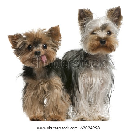 Young and old Yorkshire terriers, 6 months and 12 years old, sitting in front of white background - stock photo