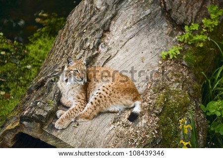 Young and powerful lynx in its territory - stock photo