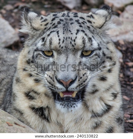 Young and well camouflaged Himalayan Snow Leopard waiting for its prey - stock photo