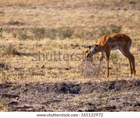 Young antelope eating bush  - stock photo