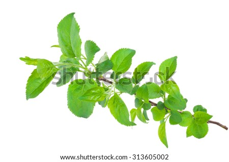 Young apple tree branch - stock photo