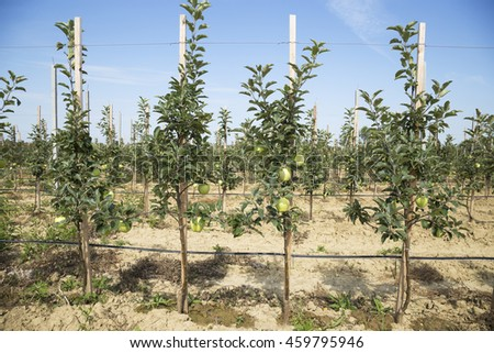 Young apple trees in the orchard, harvest. - stock photo