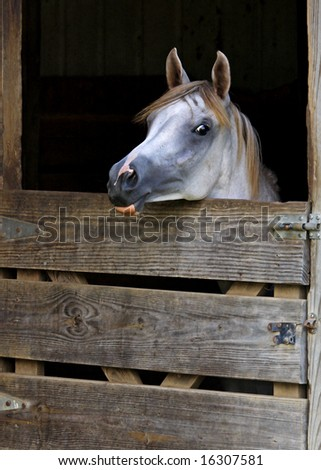 Young arabian filly looking over stall door - stock photo