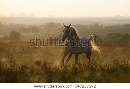 Young arabian horse in sunset, running - stock photo