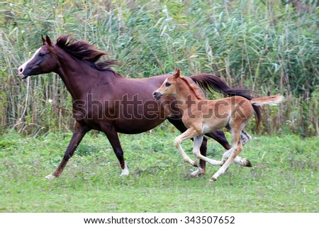 Young arabian horses canter on the meadow against green reed. Arabian mare and her foal galloping on pasture against green reed - stock photo