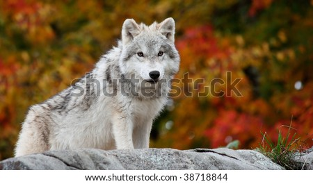 Young Arctic Wolf Looking at the Camera on a Fall Day - stock photo