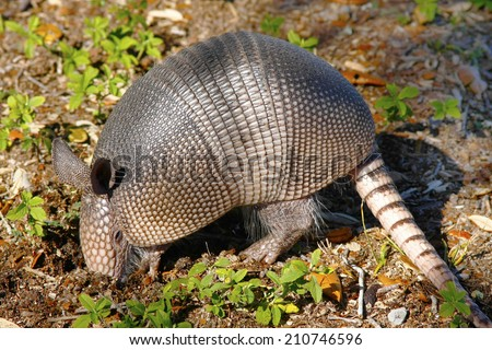 Young Armadillo Digging for Insects - stock photo