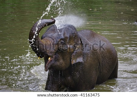Young Asian Elephant sprays himself with water at the Thai Elephant Conservation Center located in Baan Tung Kwien (near Lampang) in northern Thailand. - stock photo