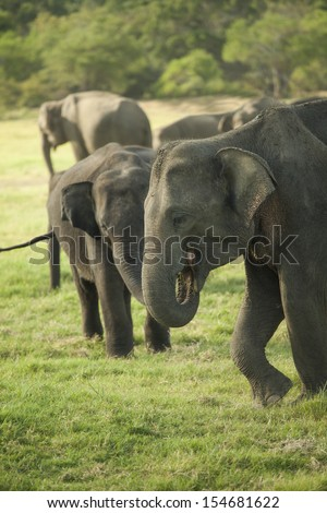 Young Asian elephants in a small herd eating grass in the Minneriya National Park, Sri Lanka