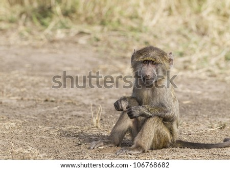 Young baboon, Masai Mara National Reserve, Kenya, East Africa - stock photo