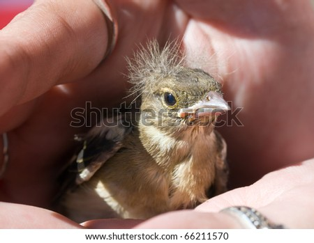 Young baby bird of the chaffinch on a palm - stock photo