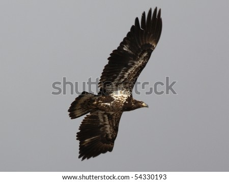 Young bald eagle in flight - stock photo