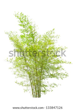 Young bamboo tree, tropical tree in the northeast of Thailand isolated on white background - stock photo