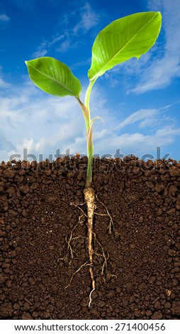 Young banana tree with underground root visible and blue sky
