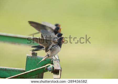 Young barn swallow screaming for food - stock photo
