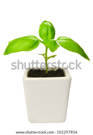 Young basil plants in flower pot isolated on white - stock photo
