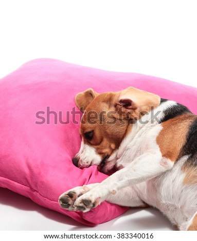 Young beagle  on pillow.