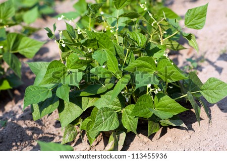 Young bean plant with flowers in the garden - stock photo