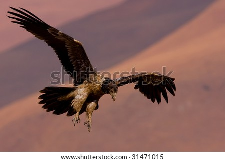 young bearded vulture - stock photo