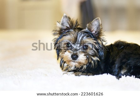 Young Beautiful Yorkshire Terrier is Lying in Bed. - stock photo