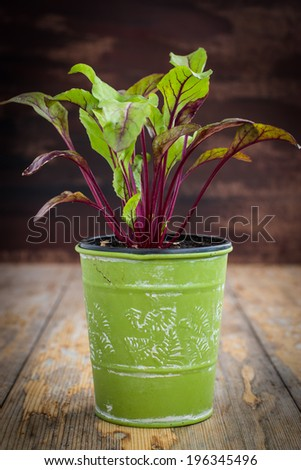 Young beetroot plant in green pot on rustic wooden table. Water drops on leaves. Selective focus. - stock photo