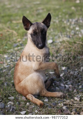 Young Belgian shepherd - stock photo