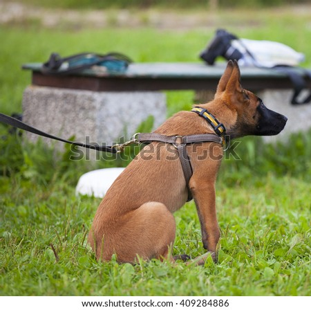 young Belgian shepherd sitting on the grass - stock photo